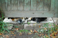 Curious dog. Dog looking into fence hole Royalty Free Stock Image