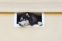 Curious Dog Looking Through a House Vent Stock Images