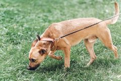 Curious dog looking for something in the grass, cute brown dog o. Utdoors, searching concept royalty free stock images