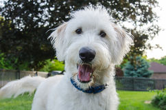 Curious Dog Looks at Camera. A white labradoodle looks intently at the camera royalty free stock image
