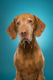 Curious dog portrait Royalty Free Stock Photography