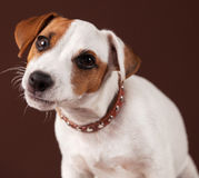 Curious dog Royalty Free Stock Photography