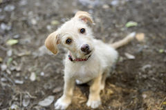 Curious Dog. A curious puppy dog is looking up with wonder royalty free stock photography