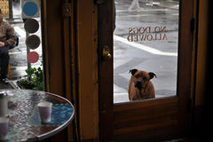 Curious dog waits outside cafe. A dog looks through the cafe window, on which is printed no dogs allowed royalty free stock images