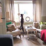 Curious dog. Weimaraner at window Stock Images