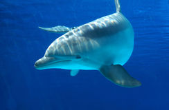 Curious dolphin. In the aquarium royalty free stock images