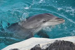 A curious dolphin. A picture of the curious dolphin in the Sea Life Park royalty free stock photo