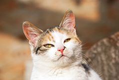 Curious domestic cat Royalty Free Stock Images