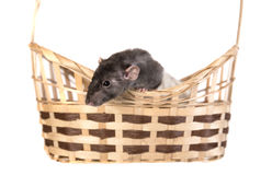 Curious domestic rat Royalty Free Stock Image