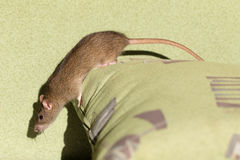 Curious domestic rat Stock Photo
