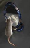 Curious domestic rat Royalty Free Stock Photos
