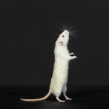 Curious domestic white rat Royalty Free Stock Photo