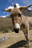 Curious Donkey Royalty Free Stock Images