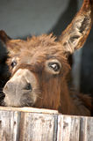Curious Donkey Stock Images