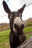 Curious Donkey Royalty Free Stock Photo