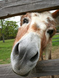 Curious Donkey. Putting her head between fence railings Stock Photography