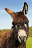 Curious donkey. The foto of the donkey very curious about the camera Stock Photo
