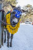Curious donkey royalty free stock photo