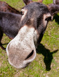 Curious donkey Royalty Free Stock Photos