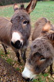 Curious donkeys. Donkeys taking a close look at the camera Royalty Free Stock Images