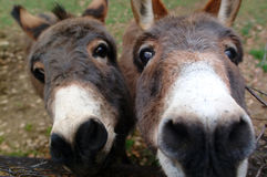 Curious donkeys Stock Photos