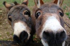 Curious donkeys. Donkeys taking a close look at the camera Stock Photos