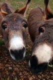 Curious donkeys Royalty Free Stock Photos