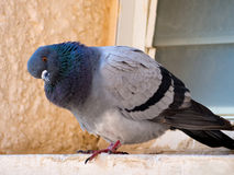 Curious dove. Looking from the window sill Royalty Free Stock Image