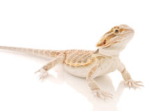 Curious Dragon Royalty Free Stock Photos