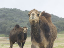 Curious Dromedary Stock Photos