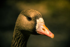 Curious duck Royalty Free Stock Photo