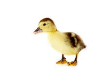 Free Curious Duckling Royalty Free Stock Image - 4039566