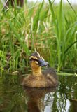 Curious Duckling Swimming Stock Images