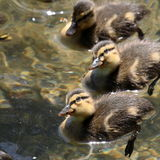 Curious ducklings Royalty Free Stock Image