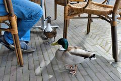 Curious ducks on a terrace. Patiently waiting to get something to eat Stock Images