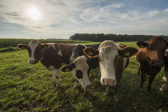 Curious Dutch cows in a pasture near Winterswijk stock image