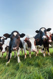 Curious Dutch milk cows Stock Photography