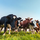Curious Dutch milk cows Royalty Free Stock Photography