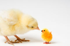 Curious Easter Chick And His Friend Royalty Free Stock Photo