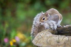 Eastern Gray Squirrel on birdbath. A curious Eastern Gray Squirrel overlooks a colorful garden from his perch on the birdbath Stock Images