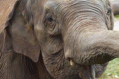 Curious elephant. Portrait of an asian elephant Stock Photo