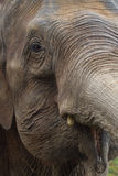 Curious elephant. Portrait of an asian elephant Stock Images