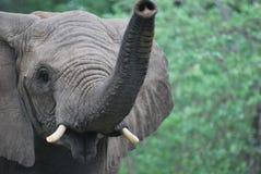 Curious elephant stock image