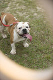 Curious english bulldog. Playful male in a park, looking up curiously through a peek hole Royalty Free Stock Photo