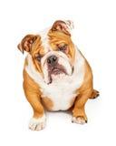 Curious English Bulldog Looking Down Royalty Free Stock Photos
