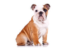 Curious english bulldog puppy Royalty Free Stock Photography