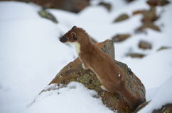 A curious ermine on top of the mountain pass. Royalty Free Stock Photography