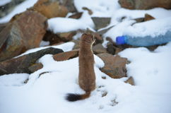 A curious ermine on top of the mountain pass. Royalty Free Stock Photos