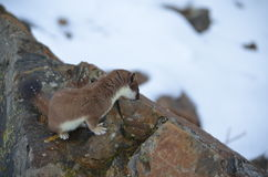 A curious ermine on top of the mountain pass. Stock Image