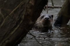 Curious European Otter stock images